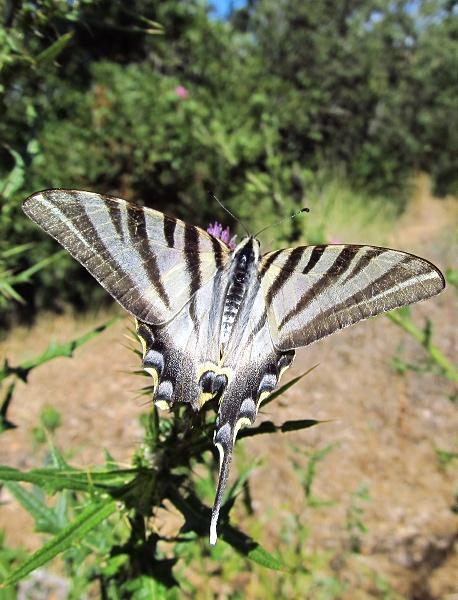 Scarce swallowtail - Iphiclides podalirius
