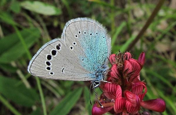Green-underside blue - Glaucopsyche alexis