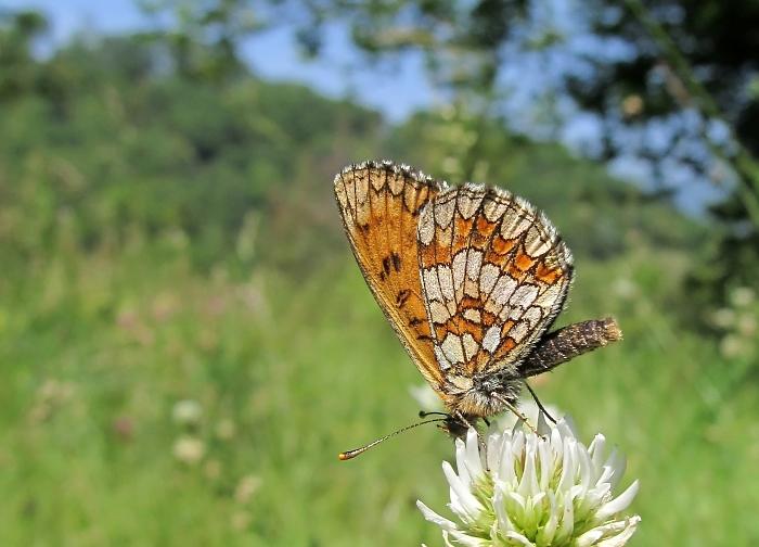 Heath fritillary - Melitaea athalia