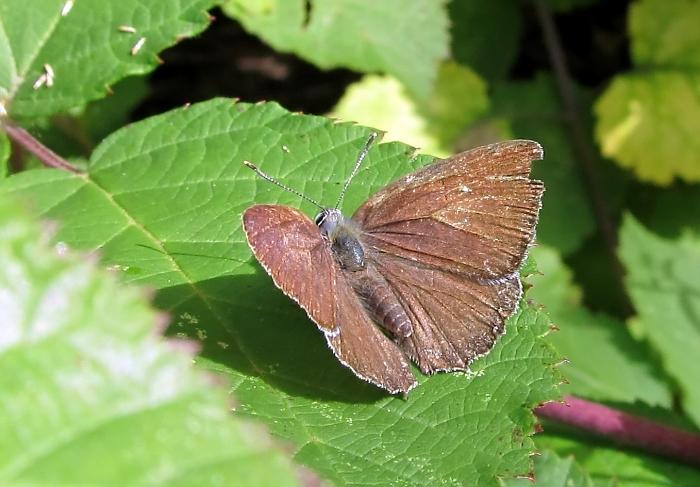 Purple hairstreak - Favonius quercus