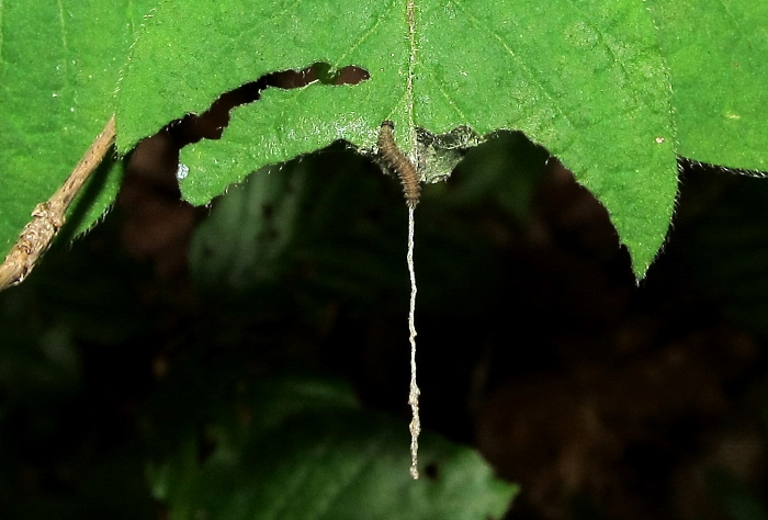 Limenitis camilla larva