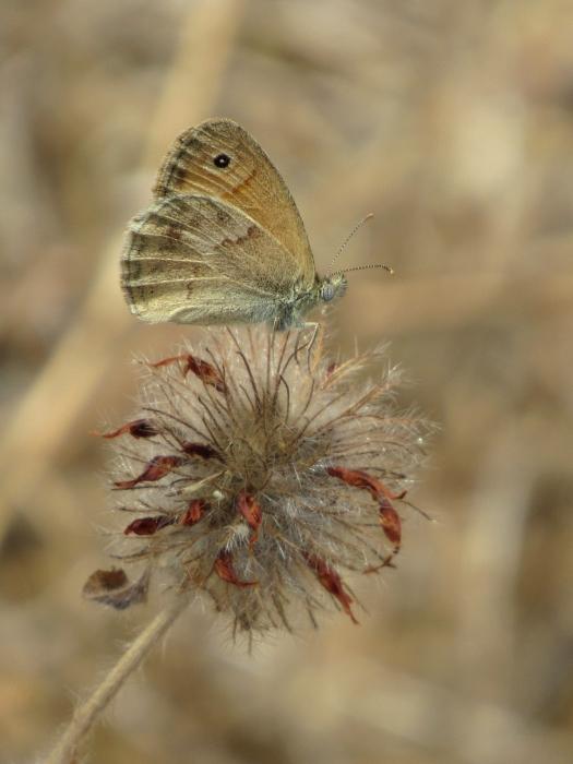 Coenonympha lyllus