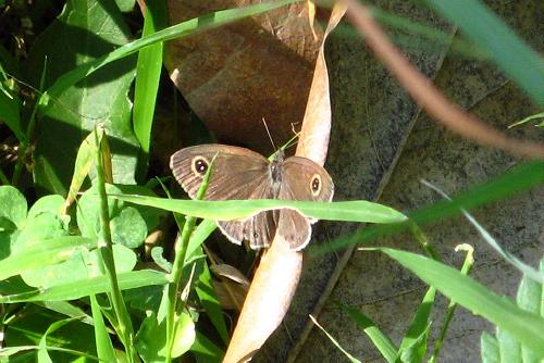 Common Four Ring Butterfly