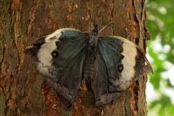 Kallima albofasciata