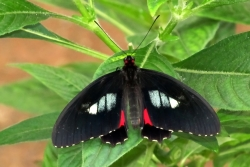 Parides arcas - true cattleheart