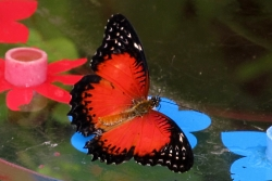 Cethosia biblis - red lacewing
