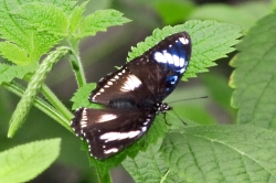 Hypolimnas bolina - great eggfly