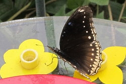 Hypolimnas bolina female - great eggfly