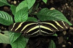 Heliconius charitonius