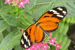 Heliconius ismenius clarescens