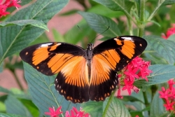 Papilio dardanus - orange female