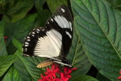 Papilio dardanus - white female