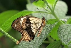 Papilio dardanus - mocker swallowtail
