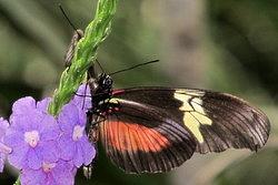 Heliconius hortense