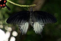 Papilio lowi - male
