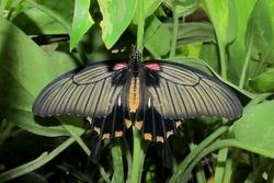 Papilio lowi - female