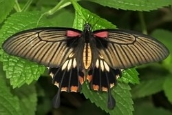 Papilio lwi - great yellow mormon
