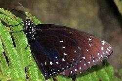 Euploea midamus