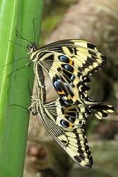 Papilio ophidecephalus