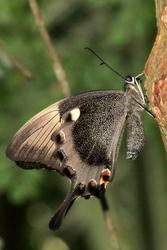 Papilio palinuras