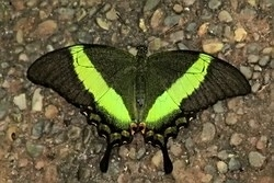 Papilio  palinurus - emerald swallowtail