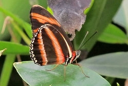 Dryadula phaetusa - banded orange