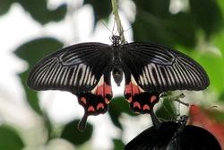Papilio polytes - female