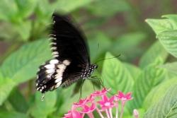 Papilio polytes - male