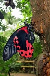 Papilio rumanzovia - female