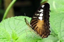 The Clipper - Parthenos sylvia