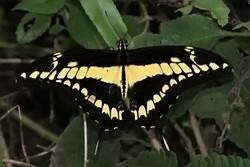 Papilio thoas - King swallowtail