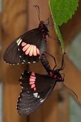 Parides zacynthus